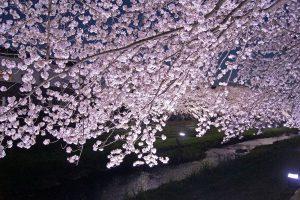 DSC09445 300x200 - [調布・野川]一夜限り・野川の桜ライトアップ2018